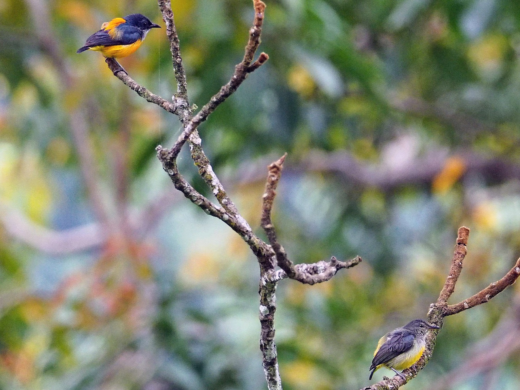 Orange-bellied Flowerpecker - Sue Chew Yap