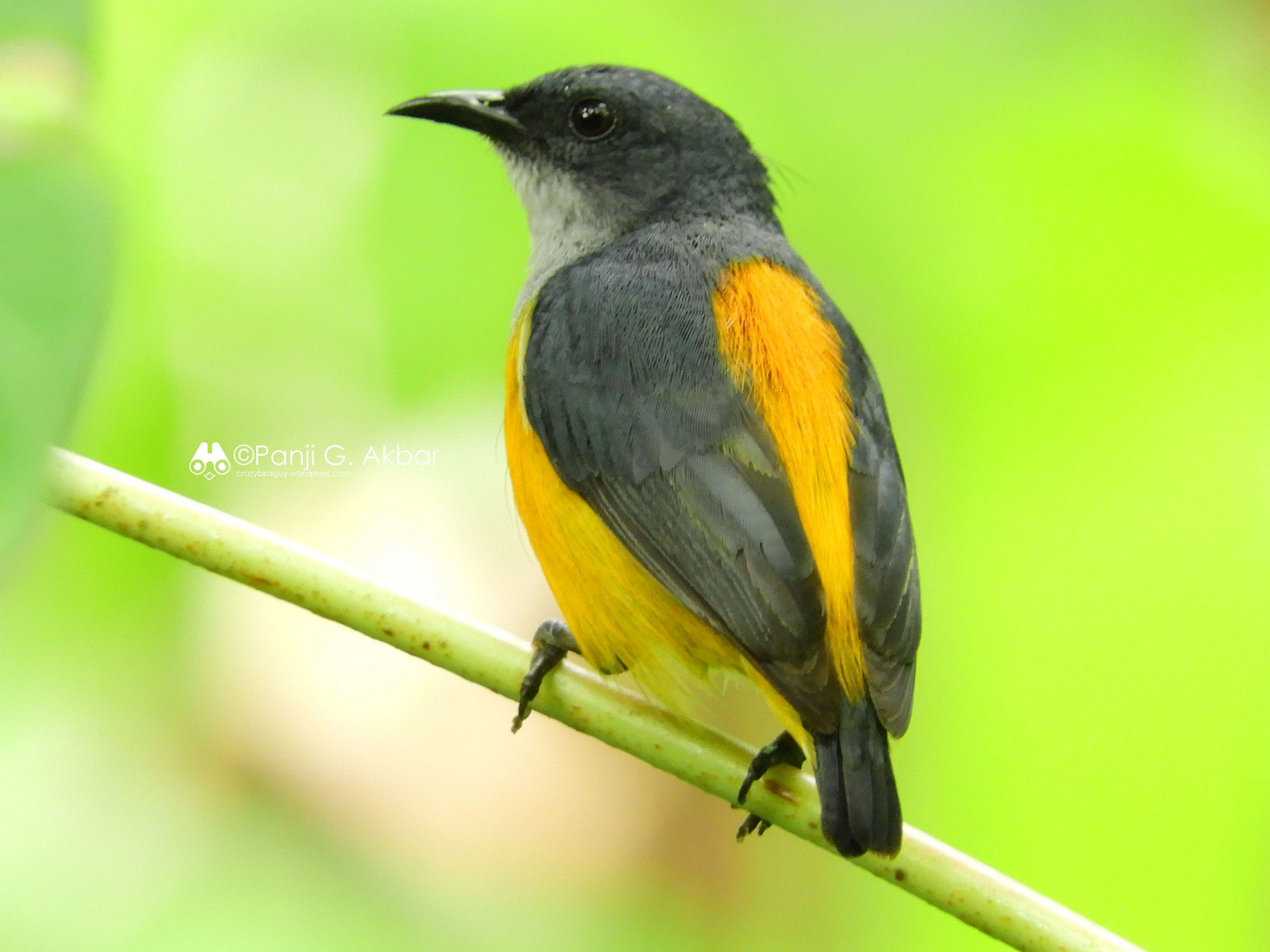 Orange-bellied Flowerpecker - Panji Gusti Akbar