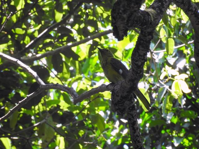 Green-headed Oriole (Gorongosa)