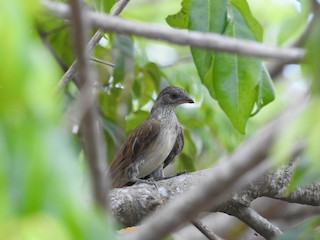 - Scaly-throated Honeyguide