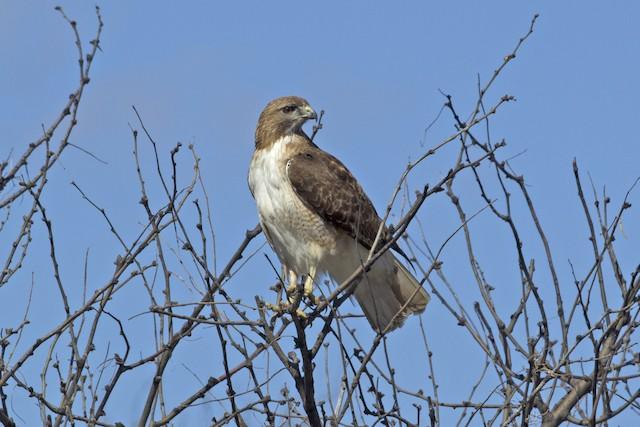Red-tailed Hawk (fuertesi)