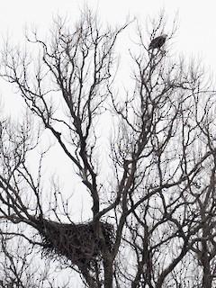 Bald Eagle, ML225162701