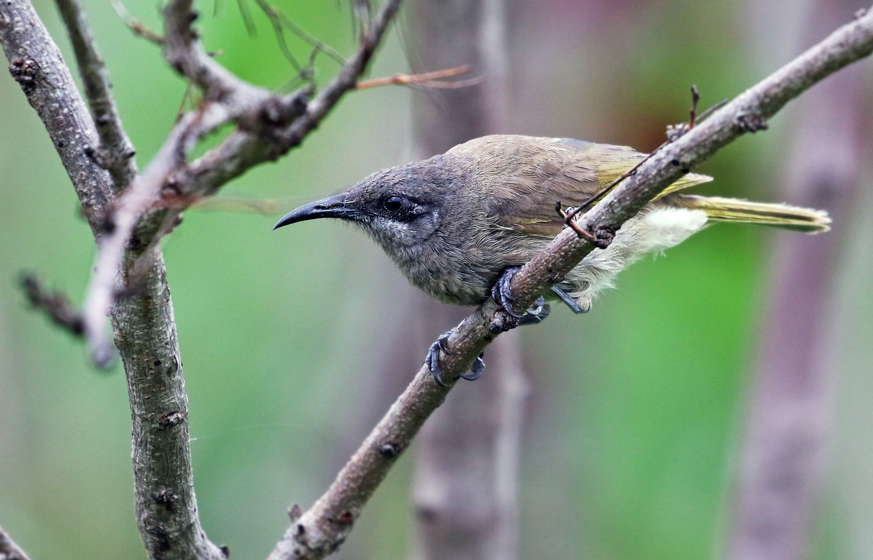 Dark-brown Honeyeater - Andrew Spencer