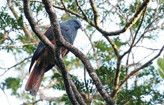 - New Caledonian Imperial-Pigeon