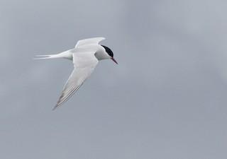 Antarctic Tern (South Georgia), ML225231941