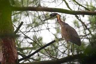 - White-eared Night-Heron
