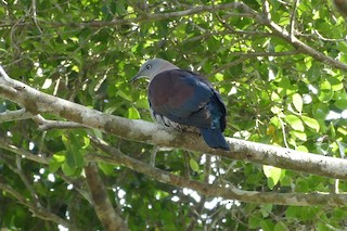- Zoe's Imperial-Pigeon