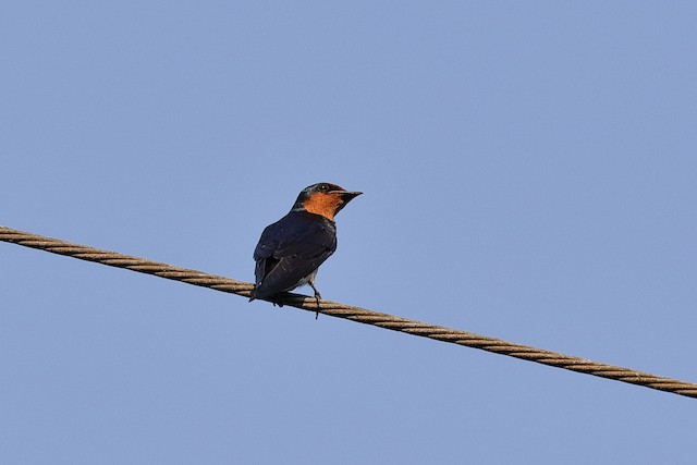 Pacific Swallow (Pacific)