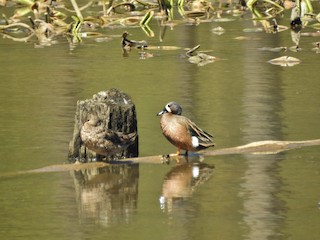 Blue-winged Teal, ML225618631