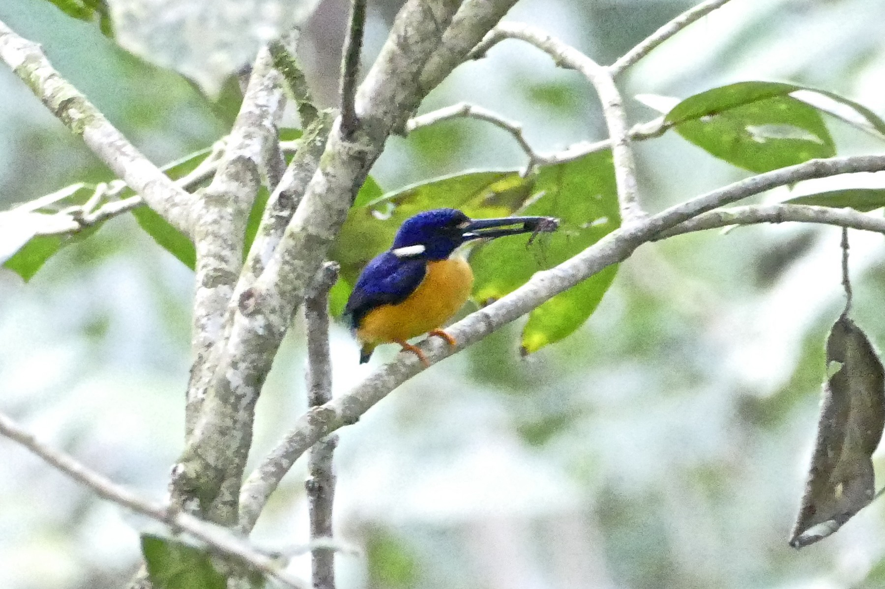 Papuan Dwarf-Kingfisher - Chris Barnes