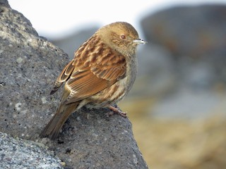 - Japanese Accentor