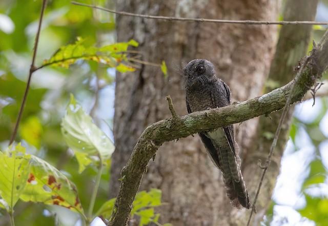Barred Owlet-nightjar (Barred)