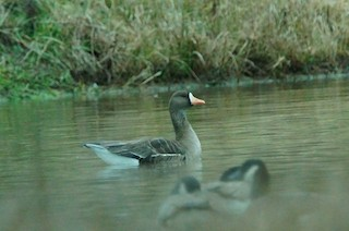 Greater White-fronted Goose, ML22579621