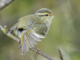 - Blyth's Leaf Warbler