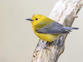 - Prothonotary Warbler