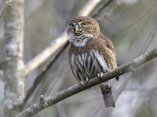 - Northern Pygmy-Owl (Pacific)