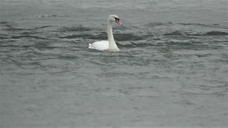 Mute Swan, ML225951251