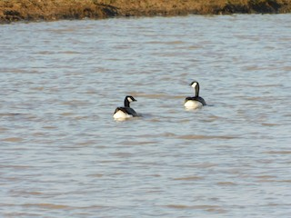 Cackling Goose, ML226027381