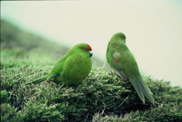 ©Colin Miskelly - Reischek's Parakeet