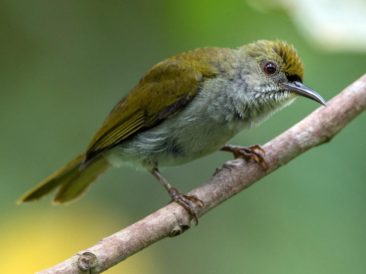 Plain Sunbird - Wich'yanan Limparungpatthanakij