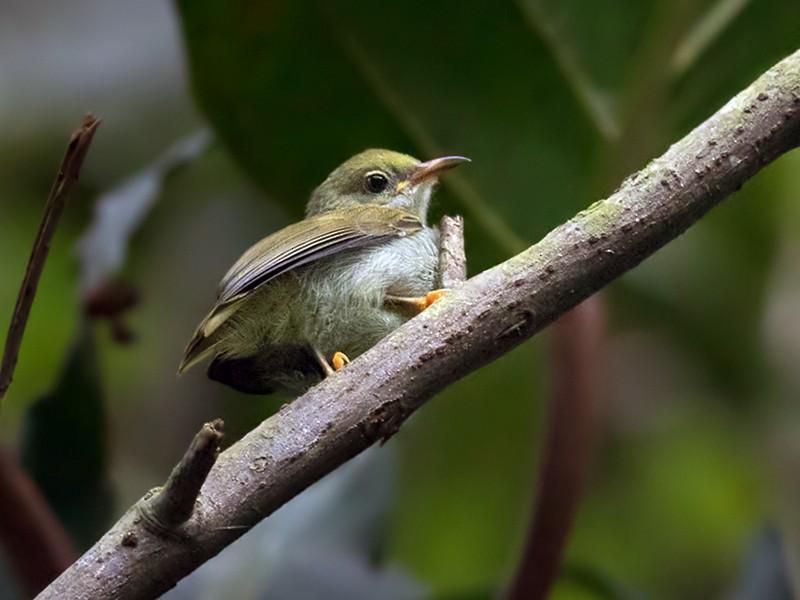 Plain Sunbird - Lars Petersson