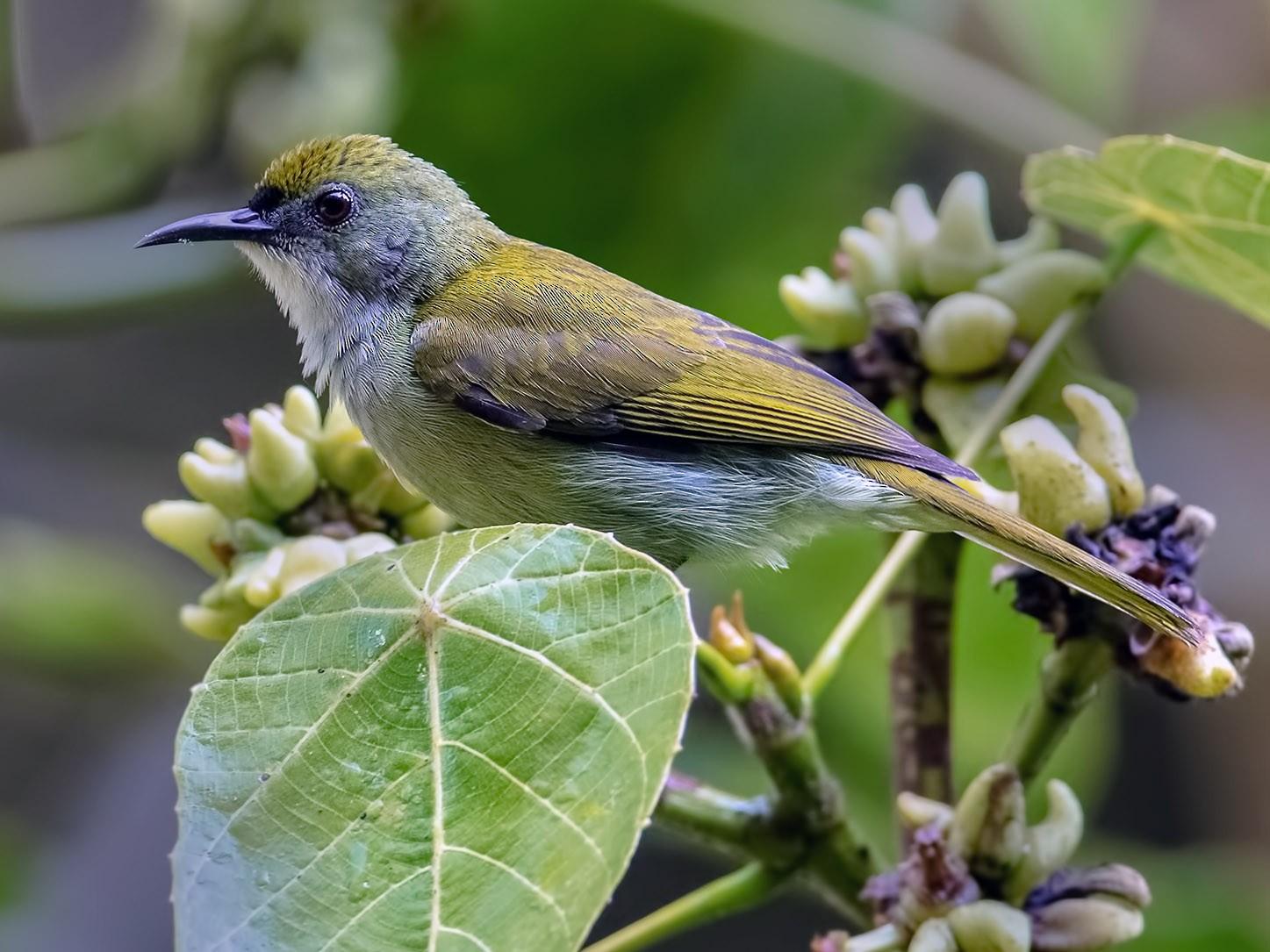 Plain Sunbird - Zhong Ying Koay