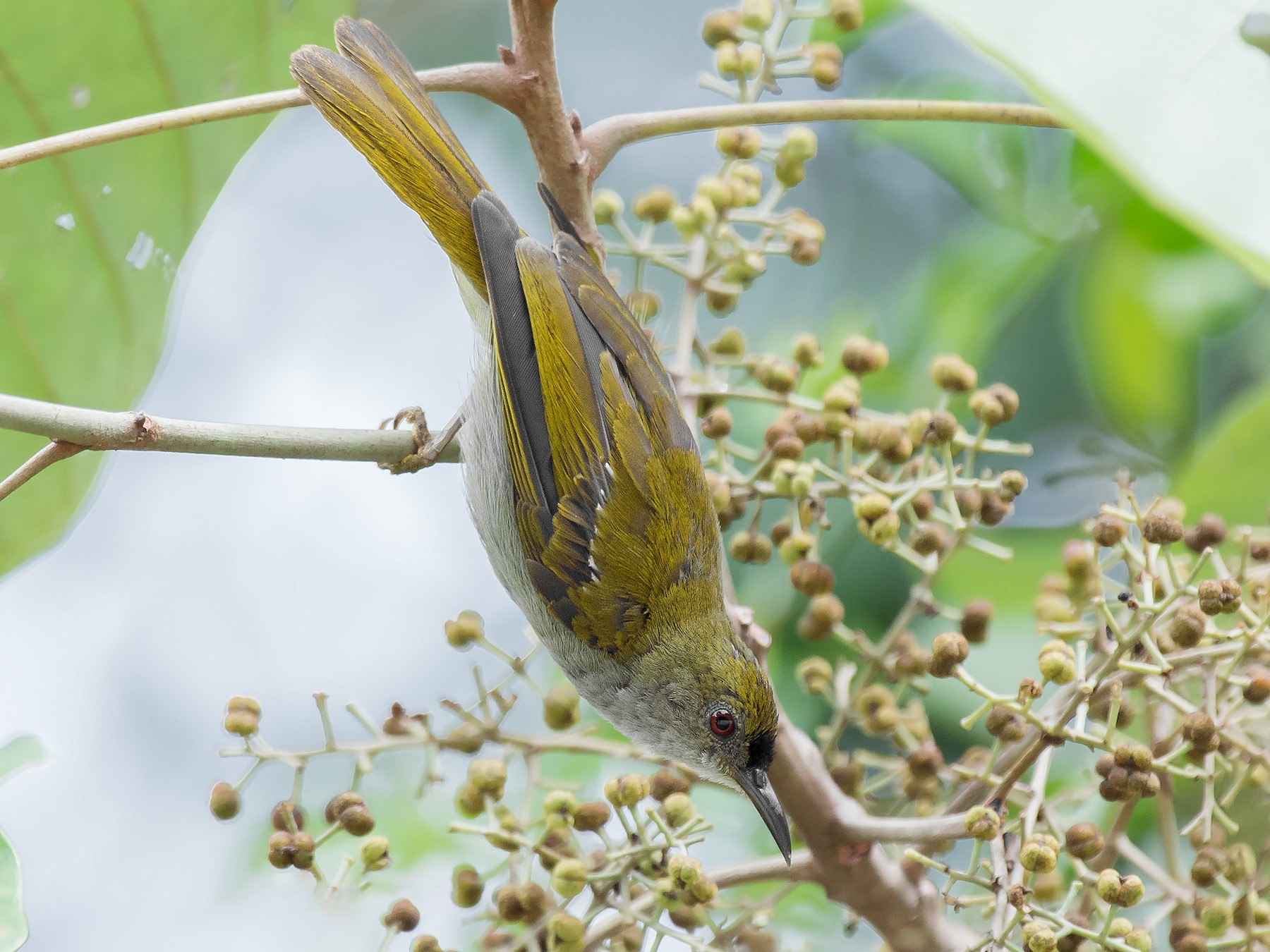 Plain Sunbird - Natthaphat Chotjuckdikul
