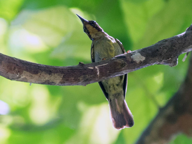 Red-throated Sunbird - Sakkarin Sansuk