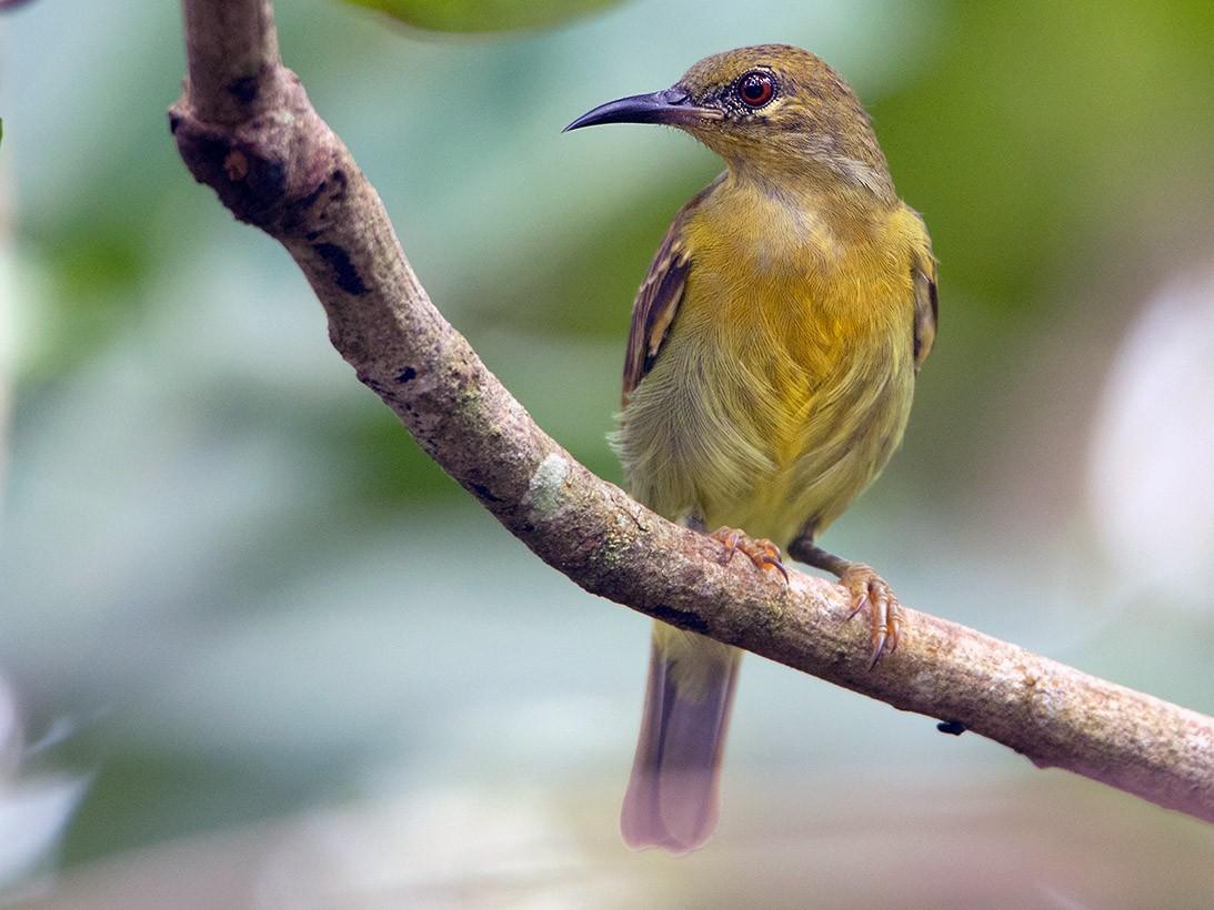 Red-throated Sunbird - Ayuwat Jearwattanakanok