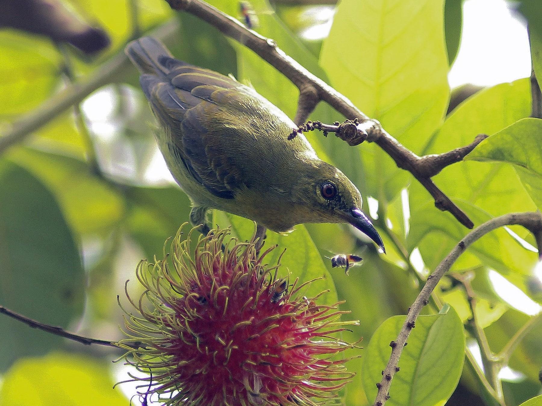 Red-throated Sunbird - Krit Adirek