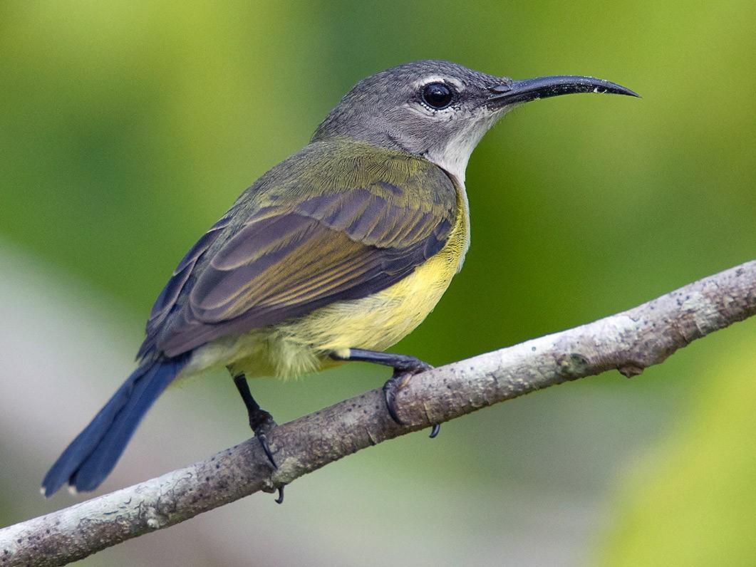 Copper-throated Sunbird - Ayuwat Jearwattanakanok