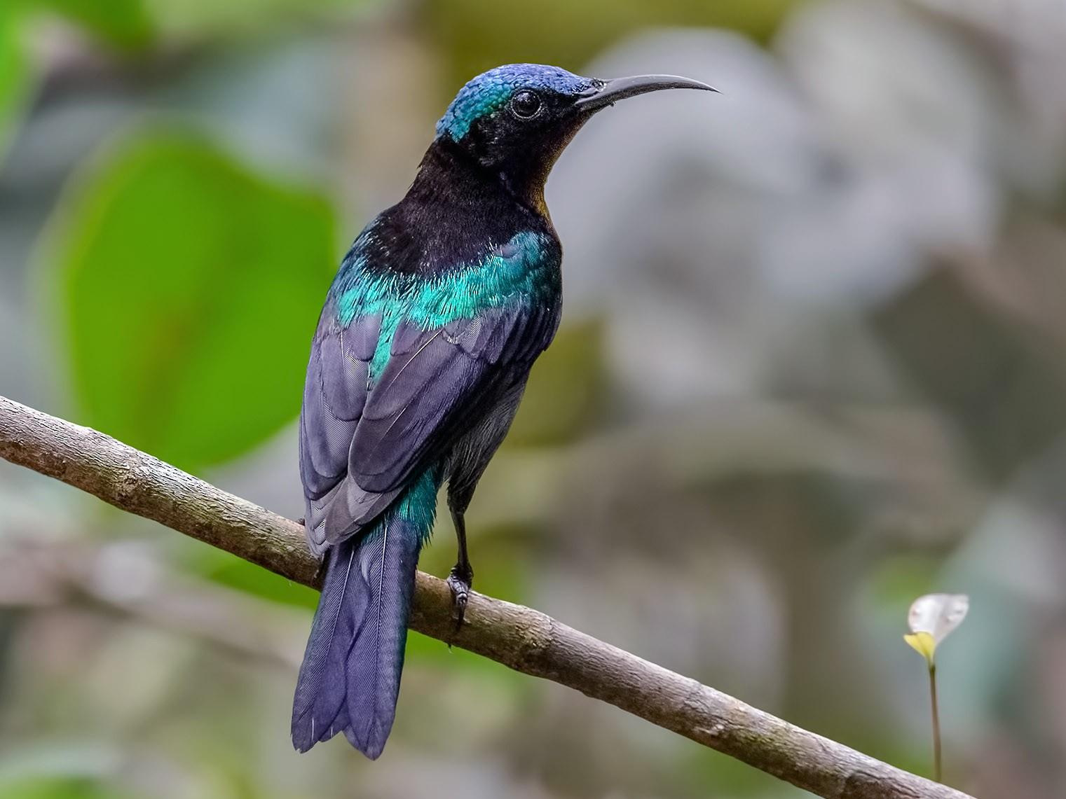 Copper-throated Sunbird - Zhong Ying Koay