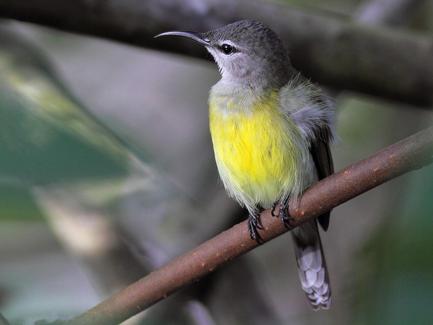 Copper-throated Sunbird - Fran Trabalon