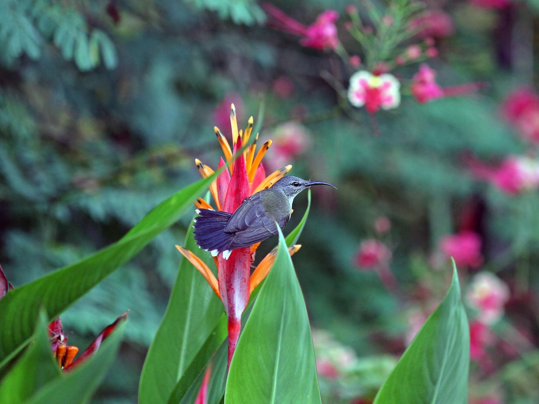 Copper-throated Sunbird - Christoph Moning