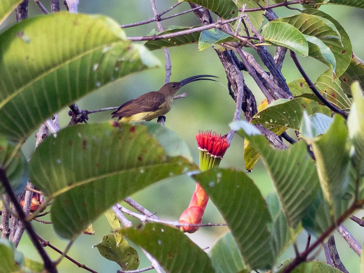 Long-billed Spiderhunter - Forest Jarvis