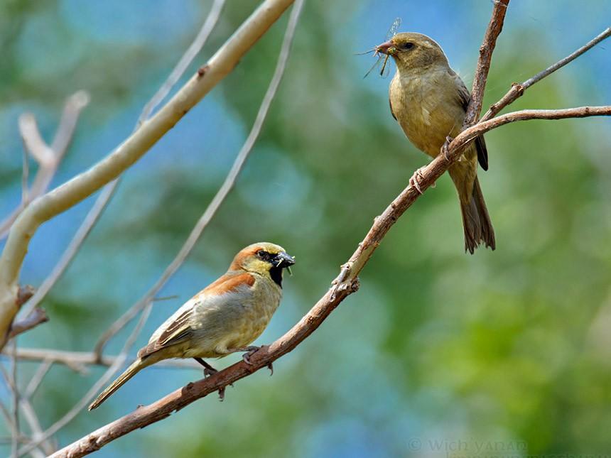 Plain-backed Sparrow - Wich'yanan (Jay) Limparungpatthanakij