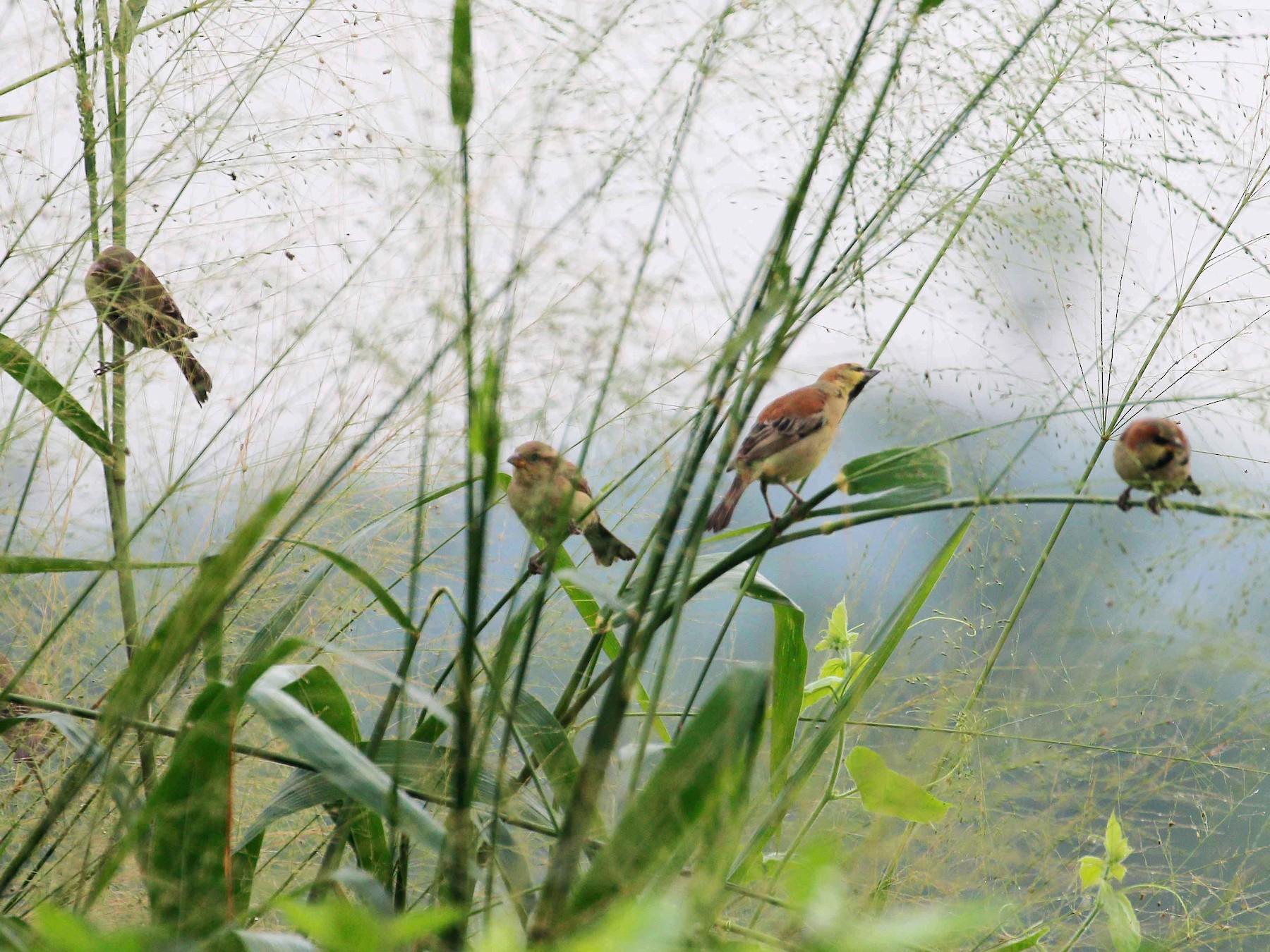 Plain-backed Sparrow - Neoh Hor Kee