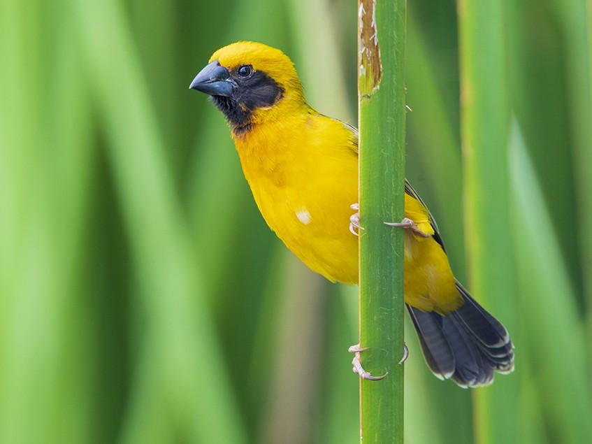 Asian Golden Weaver - Laurie Ross | Tracks Birding & Photography Tours