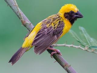 - Asian Golden Weaver