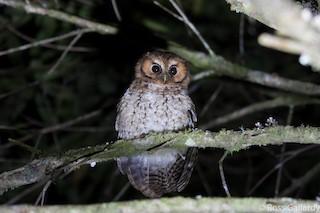 - Cloud-forest Screech-Owl