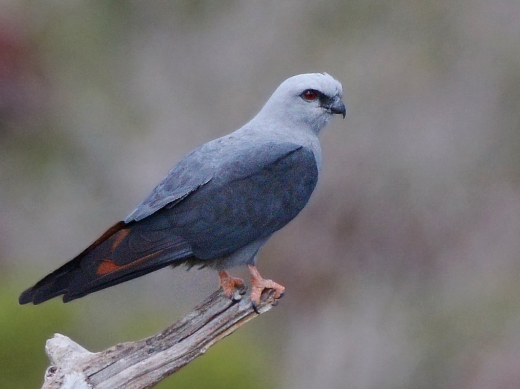 Plumbeous Kite - Jorge Dangel