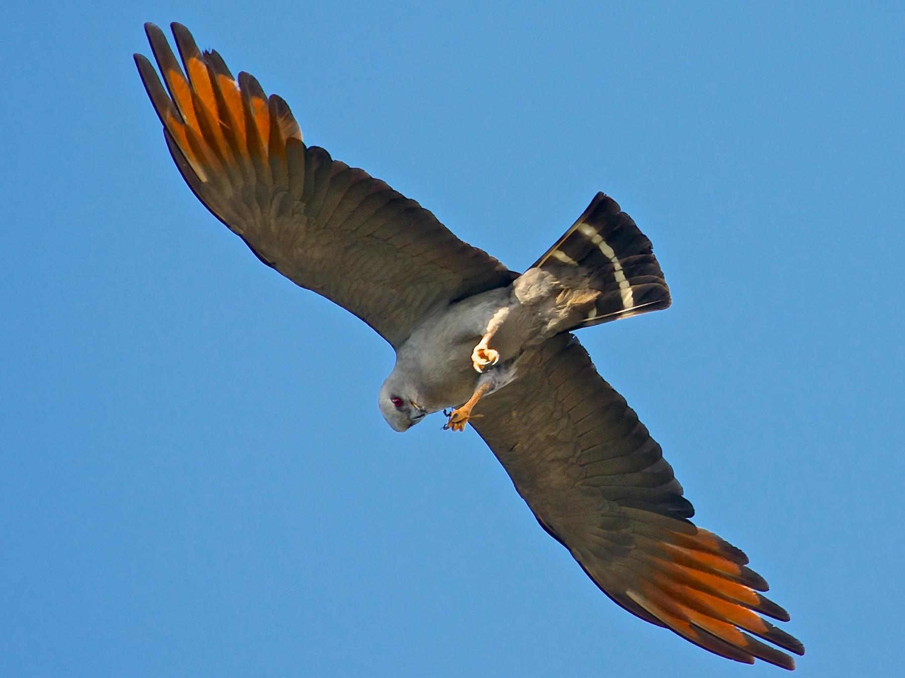 Plumbeous Kite - Michael Andersen