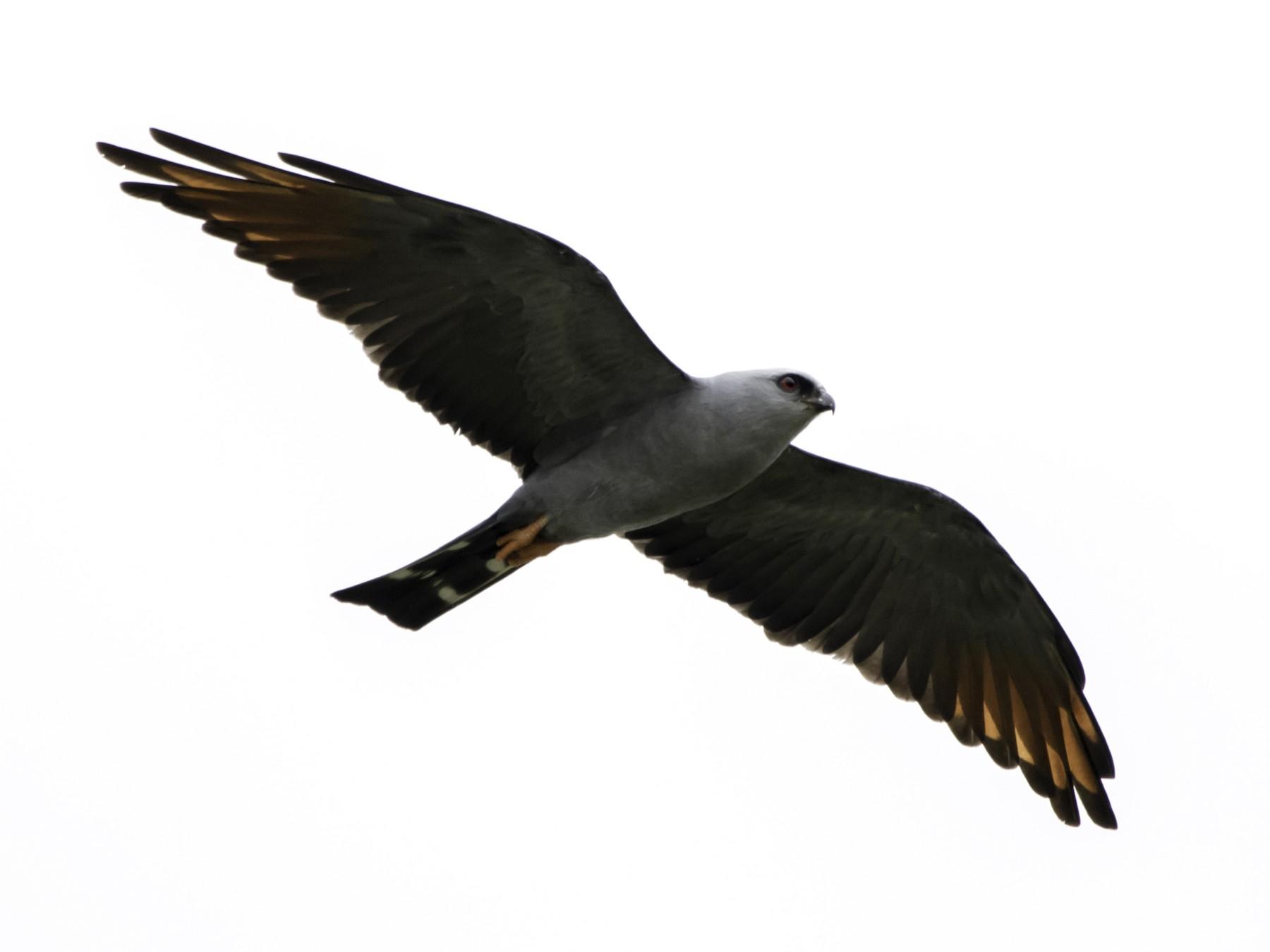 Plumbeous Kite - Jorge Eduardo  Ruano