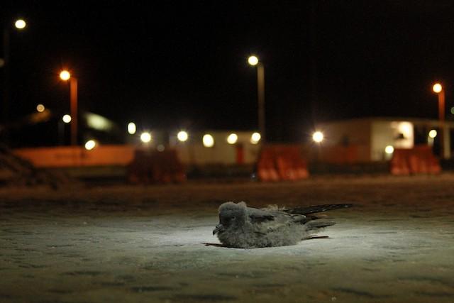 Juvenile affected by lights of Tenardita Mine.