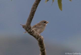 - Little Inca-Finch