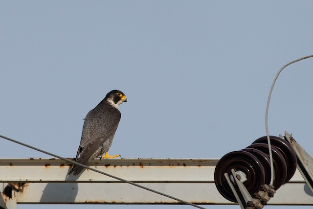 © Omer Toy - Peregrine Falcon