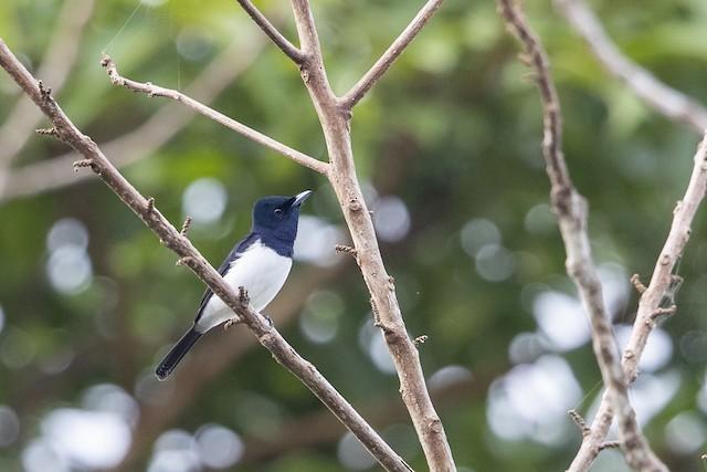 Steel-blue Flycatcher