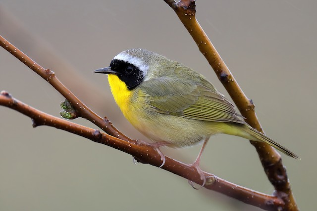 © Doug Hommert - Common Yellowthroat
