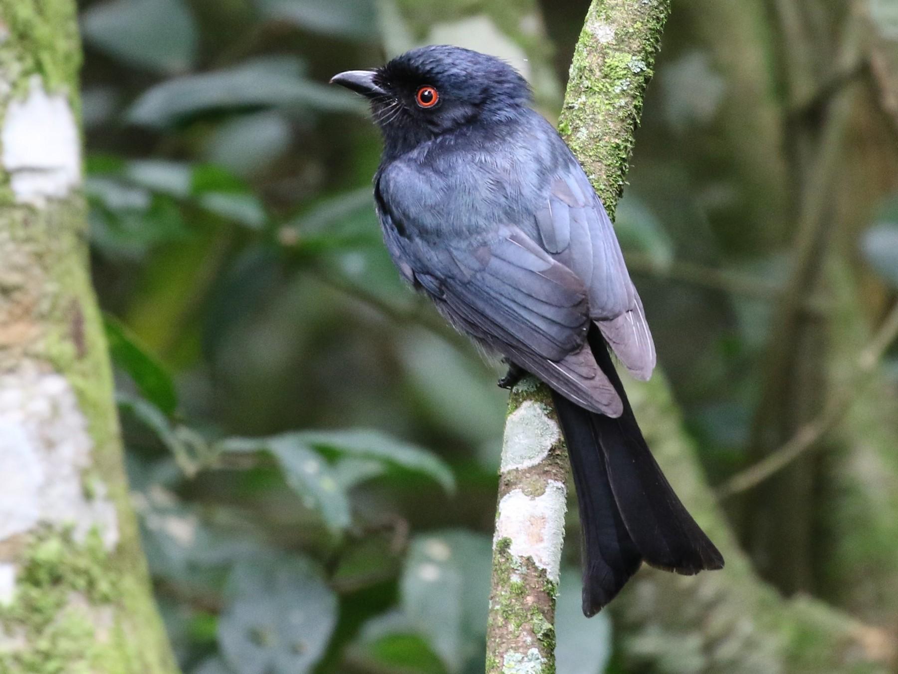 Common Square-tailed Drongo - Dean LaTray