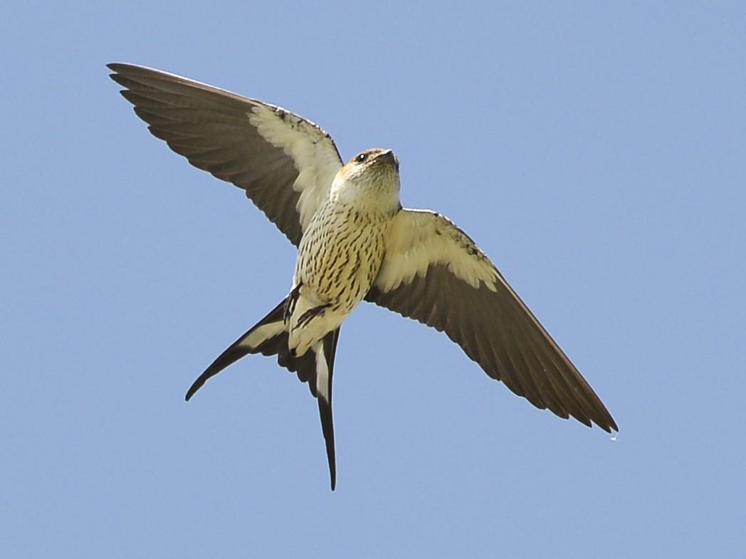 Greater Striped Swallow - Tom Heijnen
